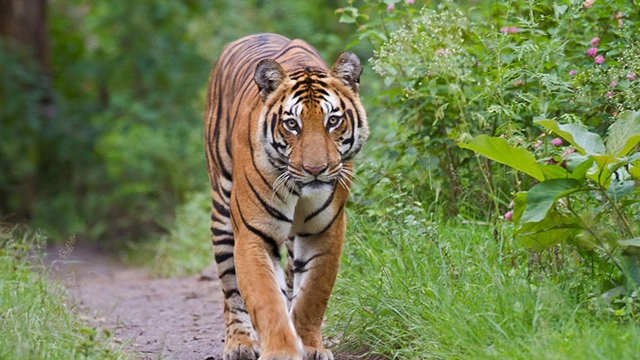Bangladesh, Bhutan, Nepal take part in India's tiger census